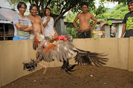 Pakan Paling Tepat untuk Ayam Bangkok