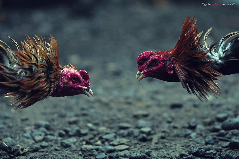 Penyebab Ayam Bangkok Belum Berani Tarung