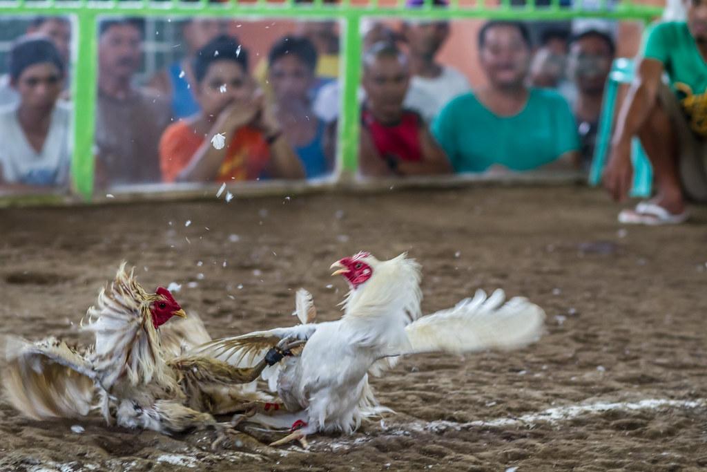 Mengobati Kutu Pada Ayam Laga