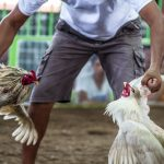 Menang Adu Ayam