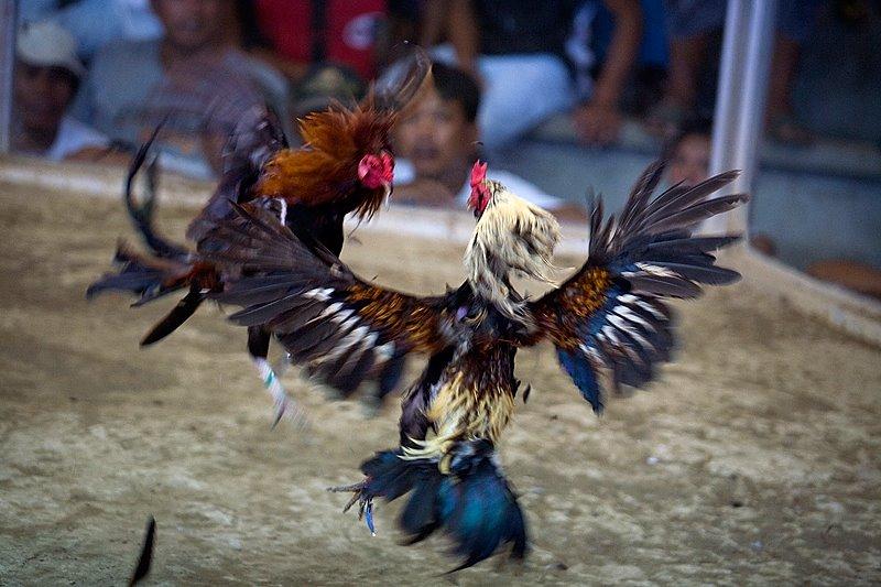 Menghilangkan Bau Kotoran Ayam Menyengat