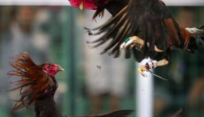 Ayam Bangkok Terbaik