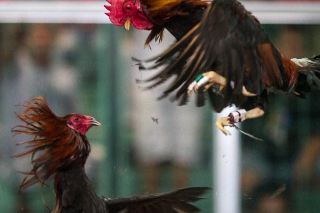 Cara Budidaya Ayam Birma Yang Tepat