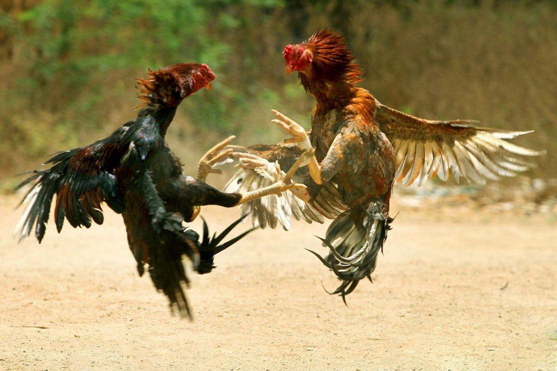 Daun Sirsak Berfaedah Untuk Ayam