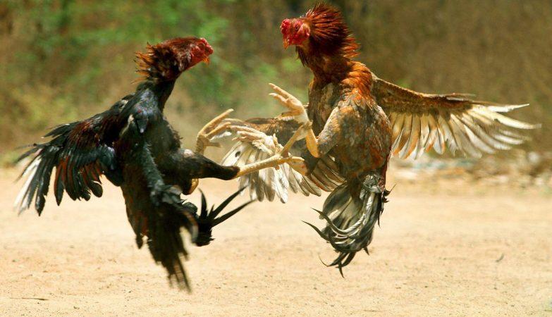 Bandar Ayam Laga