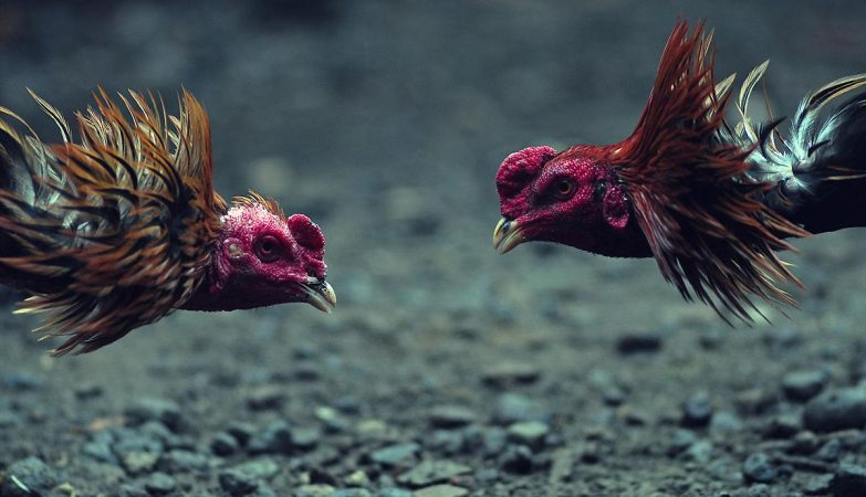 Agen Game Judi Ayam