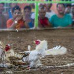 Judi Taruhan Ayam