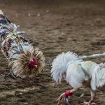Permainan Judi Ayam