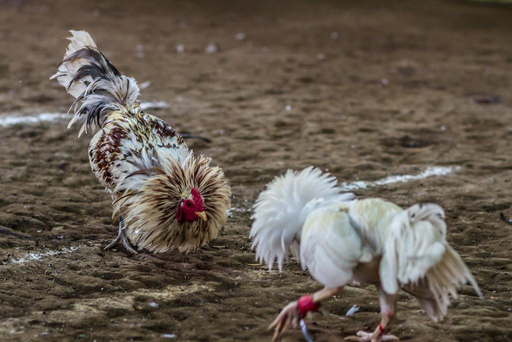 Penyakit Ayam Bangkok yang Bisa Disembuhkan