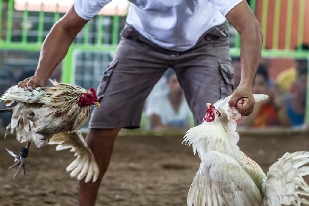 Trik Menang Mudah di Sabung Ayam