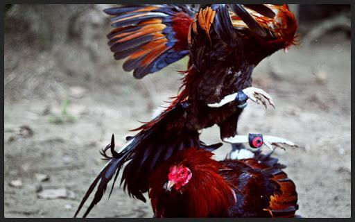 Sebab Ayam Bangkok Takut dengan Ayam Kampung