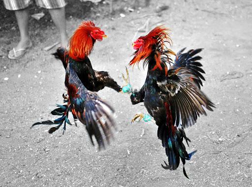 Jenis Ayam Petarung Yang Banyak Digemari