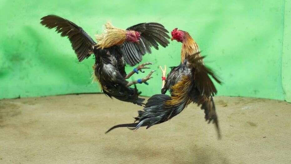 Ulat Sagu Berfaedah Untuk Ayam Laga